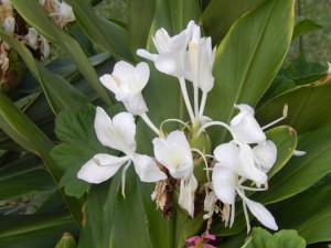 clivia white